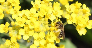 Eine Biene besucht eine Blume. Foto: Kerstin Weidner