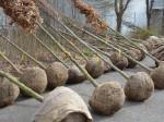 In Neusäß werden rund 40 neue Bäume gepflanzt.
