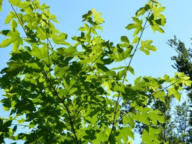 Bergahornblätter
